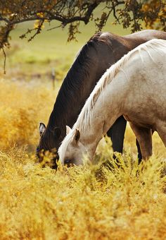 Pretty horses with their heads buried in the golden grass at sunset. All The Pretty Horses, Beautiful Horses, Animals Beautiful, Simply Beautiful, Farm Animals, Cute Animals, All Nature, Horse Photos, Horse Love