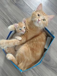 Photo Chat Roux Luxe Hi Pet Lovers where Do You Pet Products I Generally It Source by inside-hollywo Cute Cats And Kittens, I Love Cats, Crazy Cats, Cool Cats, Kittens Cutest, Pretty Cats, Beautiful Cats, Animals Beautiful, Beautiful Creatures