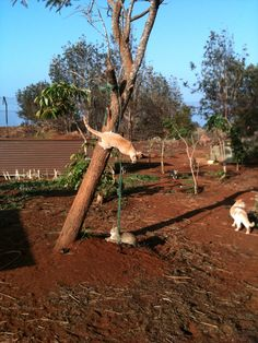 """Visit, volunteer, donate at Lanai Animal Rescue Center. Through the """"Kokua"""" (Helping Hands) project, visit our Kitty Kamp sanctuary for a """"pet and purr"""" session, or roll up my sleeves for weeding, painting or other projects!#hawaii"""