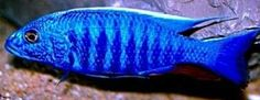 Sciaenochromis fryeri (Maleri Is.) Electric Blue Ahli Cichlid Electric Blue African Cichlid