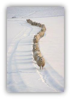 Aaargh! #sheepcontent
