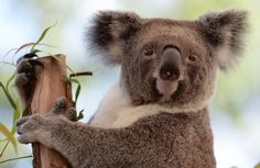 The Australian Koala Foundation estimates there are now fewer than 100,000 of the animals left in th... - Provided by AFP