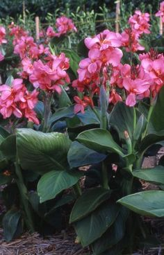 Canna x generalis 'Tropical Rose'