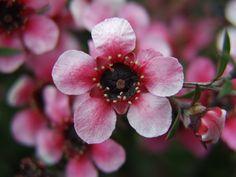pink Manuka flower