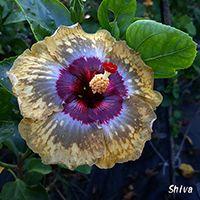 Taiwan Hibiscus - Linda Lee Blue Hibiscus, Shiva, Planting Flowers, Exotic, Plants, Taiwan, Beautiful, Queen, Google Search