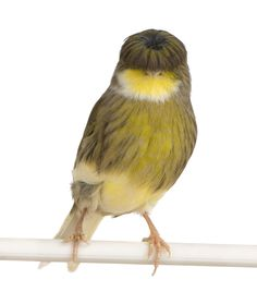 The Gloster Canary  The most interesting thing about the Gloster canary is that the bird has a permanent bowl cut. It looks like a little wig. This is one stylin' bird.