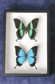 How to Mount Butterflies for Framing