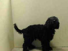 TO BE DESTROYED 7/9/14 Brooklyn Center  My name is OLIVER. My Animal ID # is A1004970. I am a neutered male black port water dog mix. The shelter thinks I am about 8 YEARS old.  I came in the shelter as a STRAY on 06/28/2014 from NY 11221, owner surrender reason stated was STRAY.