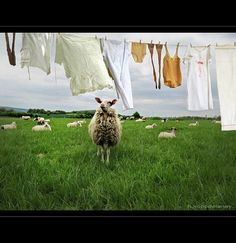 How Great Entrepreneurs Lure Their Competitors' Sheep Away Laundry Drying, Doing Laundry, Laundry Lines, Laundry Art, Laundry Room, What A Nice Day, Great Entrepreneurs, Clothes Pegs, Clothes Lines