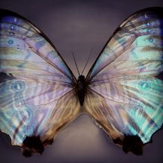 Dee_zigns, (via Things with Wings / Butterfly Kisses, Butterfly Wings, Blue Butterfly, Morpho Butterfly, Butterfly Quotes, Dragonfly Wings, Beautiful Bugs, Beautiful Butterflies, Naturally Beautiful
