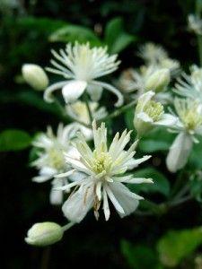 Floral de Bach Clematis - o floral para os sonhadores e sem interesse pela vida.