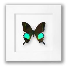 Papilio Paris Butterfly Small-living-crave