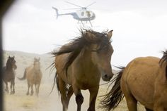 American Wild Horse Preservation Campaign. Help us stand against the Wyoming wild horse wipeout. Please. 900 signatures short of 25000 goal. Thank you for your voice! link for petition ~