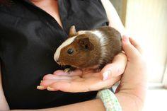 My guinea pig - Beatrix Potter