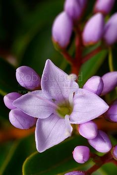 NZ native lilac coloured Hebe flowers opening (Hebe speciosa) - Napuka, New Zealand (NZ) stock photo. Quality New Zealand images by well known photographer Rob Suisted, Nature's Pic Images.