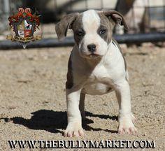 The Bully Market American Bully Beastro puppy