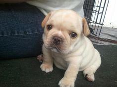 Bulldog Pup : ) pic.twitter.com/F9udUqz2FJ