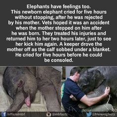 This is so sad and believed to be occurring because elephants weren't meant to live in tiny zoos. They would rather kill their offspring than subject them to the horrors of a caged life. Cute Funny Animals, Cute Baby Animals, Funny Cute, Animals And Pets, Elephant Facts, Elephant Love, Elephant Stuff, Animal Facts, Animal Memes