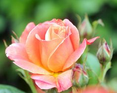 Photograph Rose and Buds by Mike Oberg on 500px