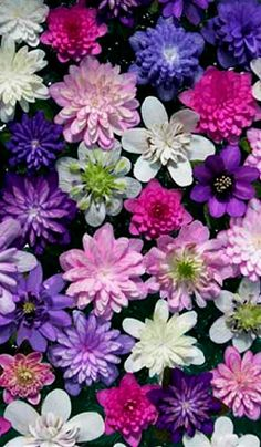 Hepatica - might be one of my new favorite flowers. All varieties are so detailed and beautiful.