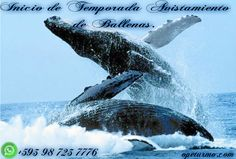 Begining of whale watching season Did you know? Adults have a length of 12 to 16 m and an approximate weight of 36 000 kg . Do not miss this event which is held every year with the visit of one of the largest mammals. We offer you a tour to go watch the whales. Date: June 19  WhatsApp : +593 98 723 7776