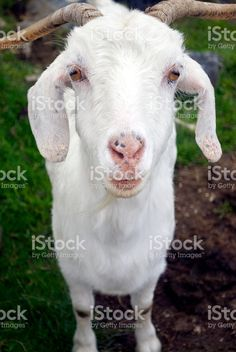 Portrait of a goat. Agriculture Photos, Goat Milk, Image Now, Health Benefits, Goats, Royalty Free Stock Photos, Portraits, Animals, Animales