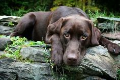 Beautiful chocolate Lab.....