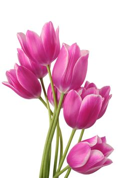 Find Bouquet Tulip On White Background Clipping stock images in HD and millions of other royalty-free stock photos, illustrations and vectors in the Shutterstock collection. My Flower, Flower Art, Flower Power, Pink Tulips, Tulips Flowers, Rare Flowers, Vintage Flowers, Art Floral, Tulip Painting