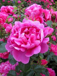 'Royal Jubilee' | David Austin English Rose