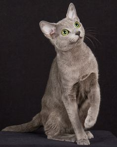 Russian Blue  Good with kids