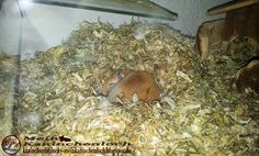 Kaninchenfan Lucky - Mein Kaninchenloch: Sissi sleeped when i stand up and seems so cute, i would like to know what she dream of (^_~)  #gerbil #rennmaus   kaninchenfanlucky-meinkaninchenloch.blogspot.de/2014/09/sissi-sleeped-when-i-stand-up-and-seems.html