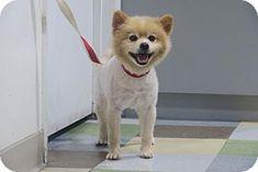 Santa Monica, CA - Pomeranian. Meet Bablu (Sweet   Calm), a dog for adoption. http://www.adoptapet.com/pet/17310622-santa-monica-california-pomeranian
