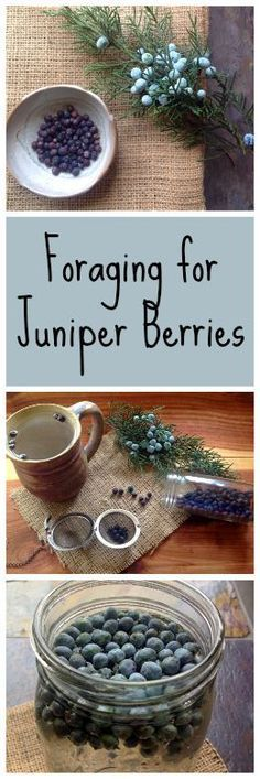 Foraging for Juniper Berries~ More than just gin! www.growforagecookferment.com http://www.growforagecookferment.comforaging-for-juniper-berries/?utm_content=buffer7fe68&utm_medium=social&utm_source=pinterest.com&utm_campaign=buffer