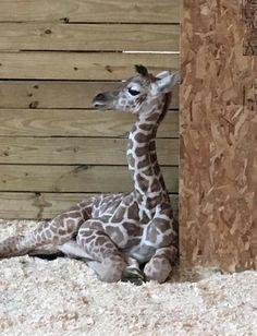April the Giraffe 's baby boy, born April 15, 2017@0930ish!!!