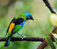 saíra-sete-cores(Tangara seledon)