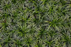 """MODERATE FOOT TRAFFIC Ophiopogon japonicus 'Nana' (Dwarf Mondo Grass) 3"""" to 6"""" x 4"""" to 6"""". Part sun/filtered sun. Average moisture. TOLERATES: Drought, Heavy Shade, Black Walnut. Indy is at the very northern part of the zone for this plant. Less Pond Plants, Buy Plants, Growing Plants, Garden Plants, Perennial Grasses, Ornamental Grasses, Coastal Gardens, Small Gardens"""