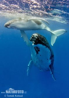 Humpback whale...all time fav animal