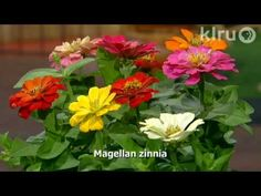 Trisha plants zinnias: Central Texas Gardener  KLRU          Ever wondered why some zinnias crater in hot, humid summers? Trisha explains why and selects fungal-resistant varieties that don't need deadheading. See how to stagger brilliant colors and heights, and add soothing whites for trouble free color until frost.