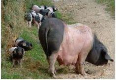 basque pig - Bing Images