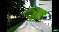 Hahns Macaw Smart birds may sing, but bad birds bark