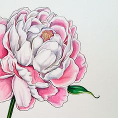 Peony - watercolour & ink illustration by Pip Boydell via pipshining