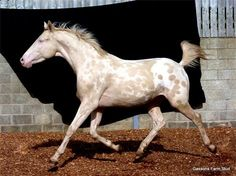 Gassons Farm Stud - GFS FIRE AND ICE