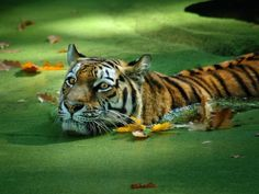 Tiger in the Green Water