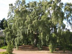 Is the Silver Birch (Betula pendula) your favourite Scottish plant? Vote now @ www.rbge.org.uk/big5