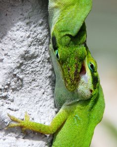 Anoles fighting for dominance
