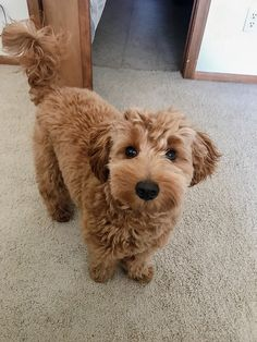 What To Tell Your Groomer To Get That Perfect Doodle Haircut