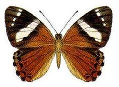 Harlequin Metalmark butterfly; Praetaxilia segecia. Also known as Australian metalmark