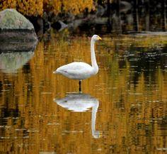 Kultaisten vesien kuningatar | Suomen Luonto. Queen of the golden water, Finland.