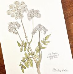 ©Hackney & Co Day 26  #wild #angelica #watercolour #100daysofillustration, #hackneyandco100days #nature #art #botanical #floral #gin #orkneywildflowers