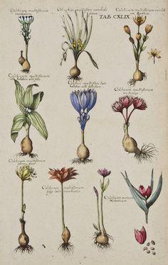 Colcbicum multiflorum from Viridarium Reformatum, seu Regnum Vegetabile: Krauter Buch (Newly Revised Garden of the Plant Kingdom: Herb Book), Michael Bernhard Valentini (1657-1729) editor. Frankfurt, Anton Heinscheidt, 1719